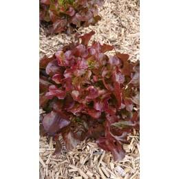 Lactuca sativa 'Alonix' - Laitue à couper (Graines/Seeds)