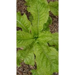 Lactuca sativa 'Frisée d'Australie' - Laitue à couper (Graines/Seeds)