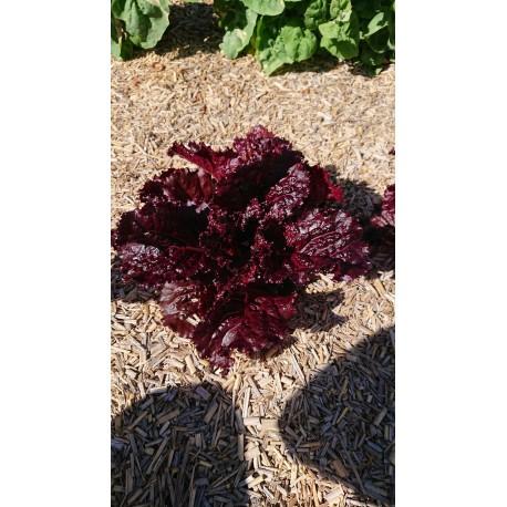 Lactuca sativa 'Merlot' - Laitue pommée (Graines/Seeds)