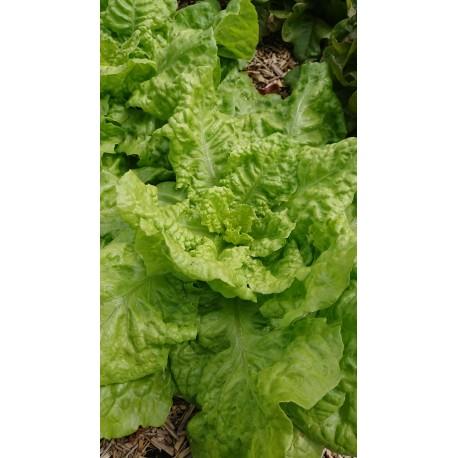 Lactuca sativa 'Reine de Juillet' - Laitue pommée (Graines/Seeds)
