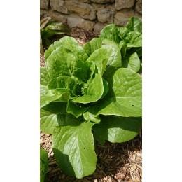 Lactuca sativa 'Craquerelle du Midi' - Laitue Romaine (Graines/Seeds)