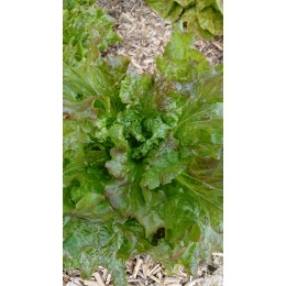 Lactuca sativa 'Gloire du Dauphiné' - Laitue pommée (Graines/Seeds)