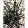 Ophiopogon planiscapus 'Nigrescens' - Muguet du japon à feuilles noires