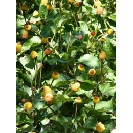 Acmella oleracea (forme pourpre) - Cresson de Parà ou Plante électrique