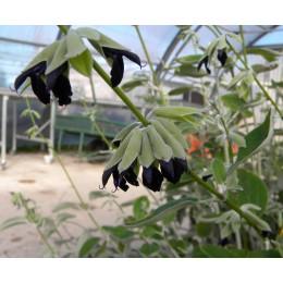 Salvia discolor - Sauge Cassis
