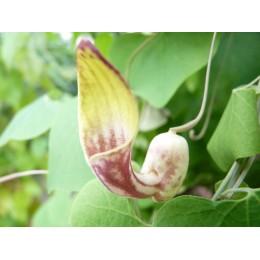Aristolochia raja - Aristoloche