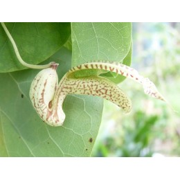 Aristolochia esperanzae f. minor