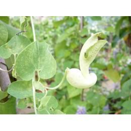 Aristolochia gibertii (Mato Grosso)  - Aristoloche