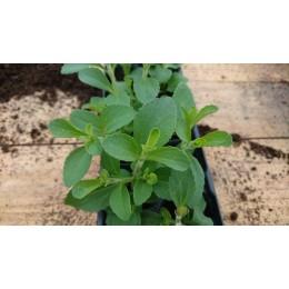 Stevia rebaudiana - Herbe sucrée
