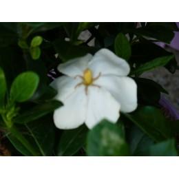 Gardenia jasminoïdes 'Kleim's Hardy' - Gardénia rustique