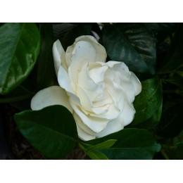 Gardenia jasminoïdes 'Summer Snow' - Gardénia rustique géant