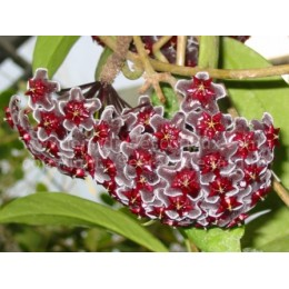 Hoya pubicalyx 'Red buttons' - Fleur de Porcelaine (ou de cire) - boutures / cuttings