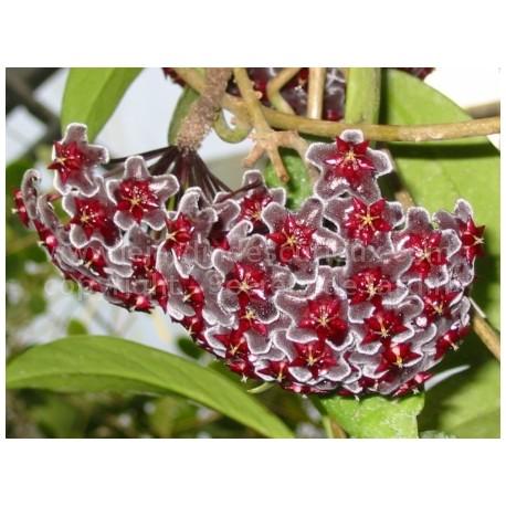 Hoya pubicalyx 'Red buttons' - Fleur de Porcelaine (ou de cire)