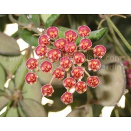 Hoya bilobata - Fleur de Porcelaine (ou de cire) - boutures / cuttings