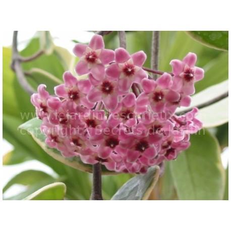 Hoya tricolor mauve - Fleur de Porcelaine (ou de cire)