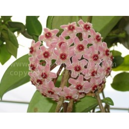 Hoya finlaysonii - Fleur de Porcelaine (ou de cire)