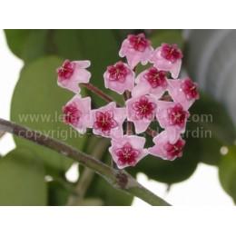 Hoya obovata - Fleur de Porcelaine (ou de cire)