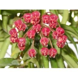 Hoya kentiana - Fleur de Porcelaine (ou de cire)