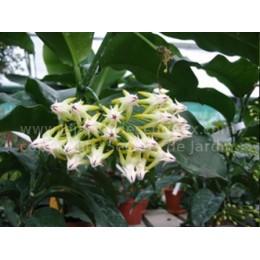 Hoya multiflora 'Comète' - Fleur de Porcelaine (ou de cire)