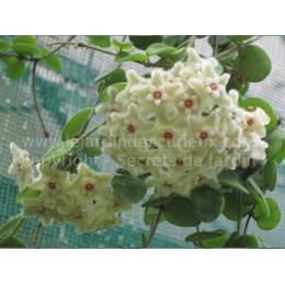 Hoya serpens - Fleur de Porcelaine (ou de cire)