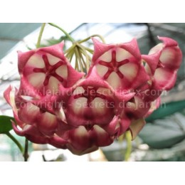 Hoya archboldiana - Fleur de Porcelaine (ou de cire)