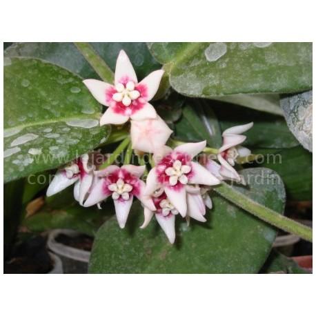 Hoya calycina - Fleur de Porcelaine (ou de cire)