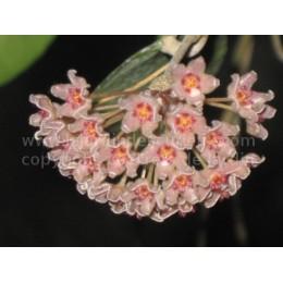 Hoya camphorifolia - Fleur de Porcelaine (ou de cire) - boutures / cuttings