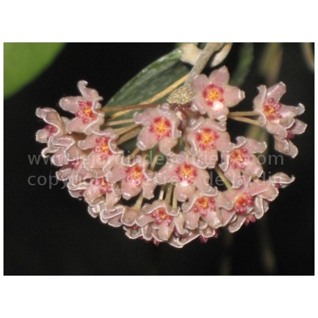 Hoya camphorifolia - Fleur de Porcelaine (ou de cire)