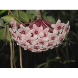Hoya carnosa 'Variegata' - Fleur de Porcelaine (ou de cire)