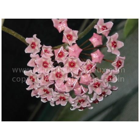 Hoya carnosa 'Albomarginata' - Fleur de Porcelaine (ou de cire)
