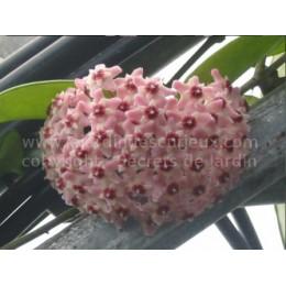 Hoya carnosa 'Atropurpurea' - Fleur de Porcelaine (ou de cire)