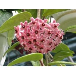 Hoya carnosa 'Green Exotica' - Fleur de Porcelaine (ou de cire)