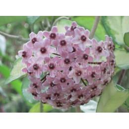 Hoya carnosa 'Tricolor' - Fleur de Porcelaine (ou de cire)