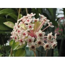 Hoya carnosa 'Variegata' à fleurs blanches - Fleur de Porcelaine (ou de cire)