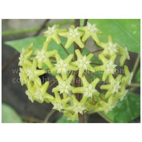 Hoya cominsii 'New Georgia' - Fleur de Porcelaine (ou de cire)