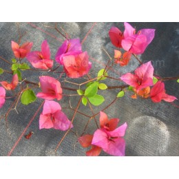 Bougainvillea ' Isabel Greensmith '- Bougainvillier ou Bougainvilée