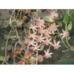Hoya curtisii - Fleur de Porcelaine (ou de cire) - boutures / cuttings