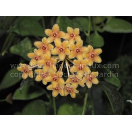 Hoya florida - Fleur de Porcelaine (ou de cire) - boutures / cuttings