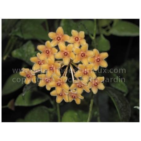 Hoya florida - Fleur de Porcelaine (ou de cire)