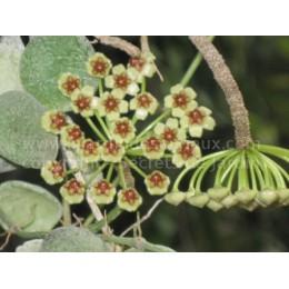 Hoya incurvula Sulawesi - Fleur de Porcelaine (ou de cire)