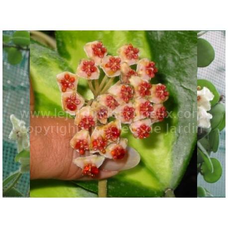 Hoya kerrii 'Variegata' - Fleur de Porcelaine (ou de cire)