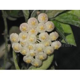 Hoya lacunosa - Fleur de Porcelaine (ou de cire) - boutures / cuttings