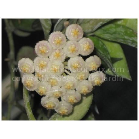 Hoya lacunosa - Fleur de Porcelaine (ou de cire)