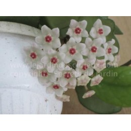 Hoya motoskei japan - Fleur de Porcelaine (ou de cire)
