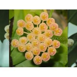 Hoya obscura - Fleur de Porcelaine (ou de cire) - boutures / cuttings