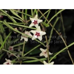 Hoya retusa - Fleur de Porcelaine (ou de cire)