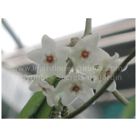 Hoya shepherdii - Fleur de Porcelaine (ou de cire)