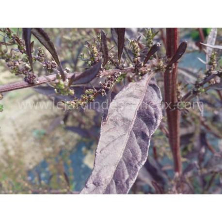 Chenopodium ambroisoïdes  'Oaxaca red'