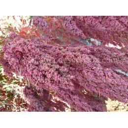 Chenopodium pallidicaule  (Graines / seeds)