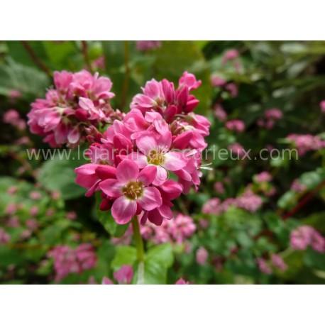 Fagopyrum esculentum  'Himalayan Red' - Sarrasin